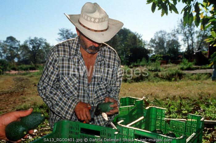Mexico, Michoacan, Uruapan. Workers at avocado orchard