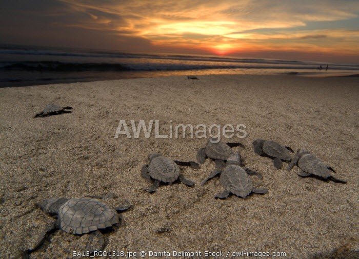 Mexico, Chiapas, Boca del Cielo Turtle Research Station, Olive Ridley sea turtle (Lepidochelys olivacea) hatchlings are released at sunset, back to sea