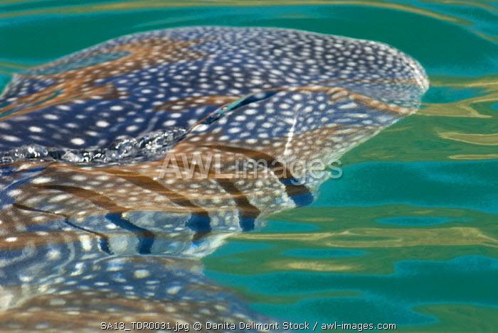 Mexico, Baja California, Midriff Islands, Sea of Cortez, Bahia de los Angeles.  Area renown for Whale Sharks (Rhincodon typus) that come to these waters to filter feed.
