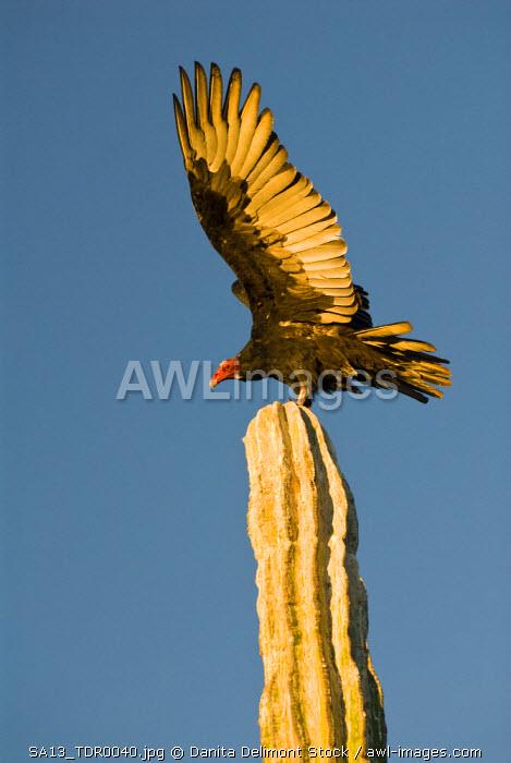 Mexico, Baja California, Sonoran Desert.  Classic desert scenic with Turkey Vulture (Cathartes aura) perched on Cardon cactus (Pachycereus pringlei). Sunrise illuminates detail