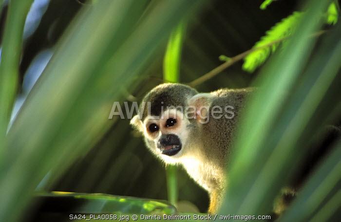Squirrel Monkey (Samiri scureus), Devil's Island, French Guiana