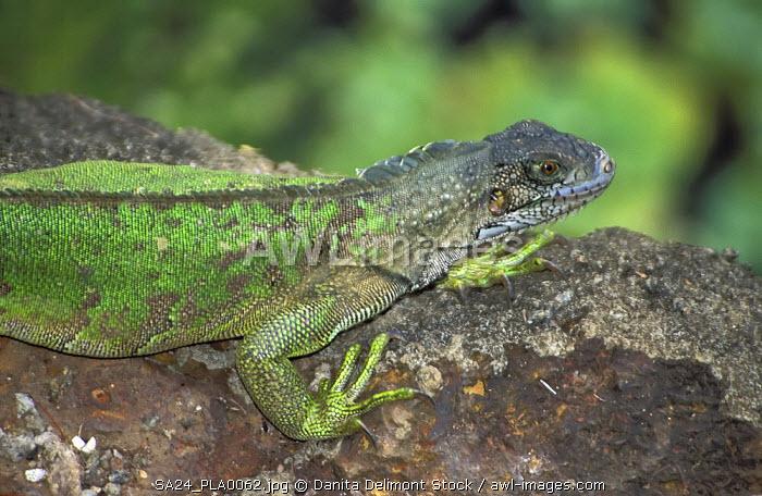 Green lizard, Devil's Island, French Guiana