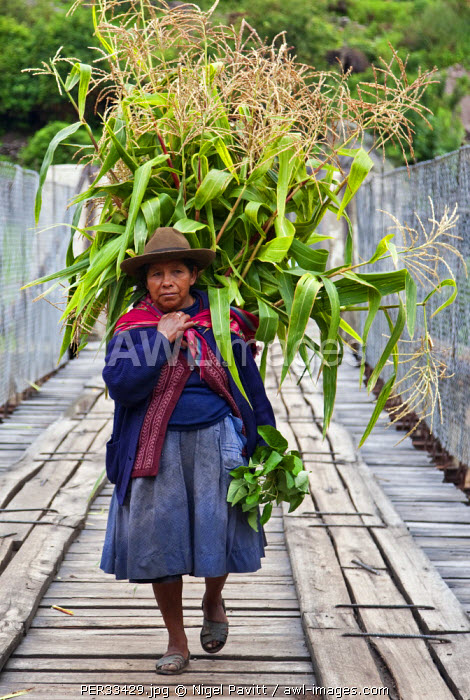 Peru, A woman with a load of maize stalks to feed to her pigs crosses a narrow bridge spanning the Urubamba River.