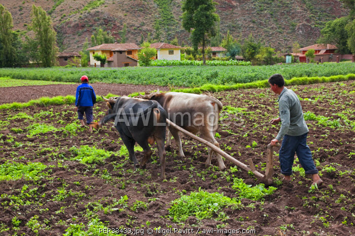 Peru, A man ploughs his fertile fields with oxen in the traditional way.