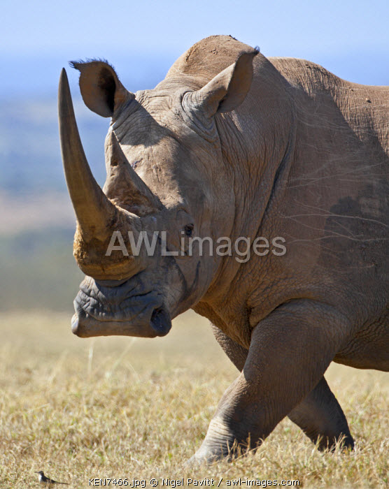 A male white rhino with fine horns looks towards a grassland pipit as it strides across an open plain.