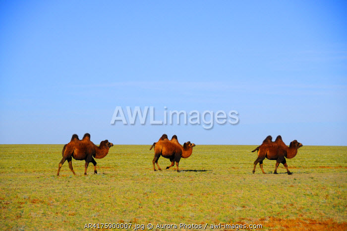 awl-images.com - Mongolia / Bactrian camels in the Gobi Desert, Mongolia