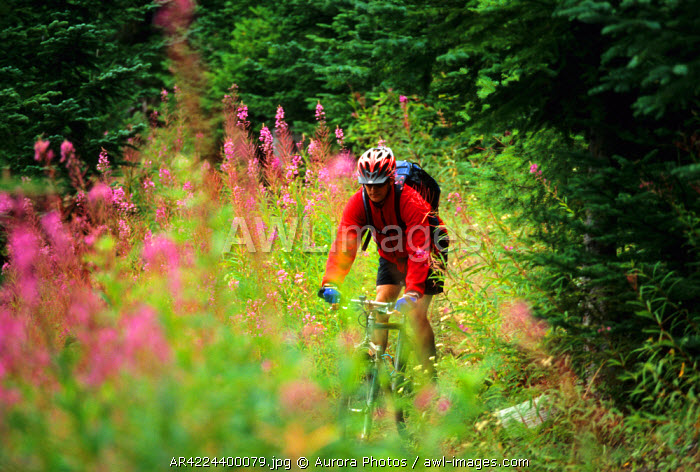 awl-images.com - USA / A young man biking through fireweed, Mt Baker-Snoqualmie National Forest, Washington