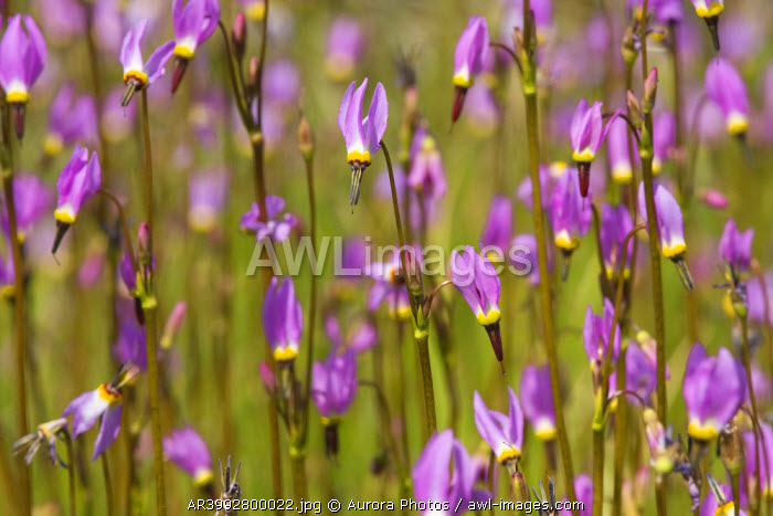 awl-images.com - USA / A closeup of pink Shooting Star flowers in a meadow near Lake Tahoe in California, USA