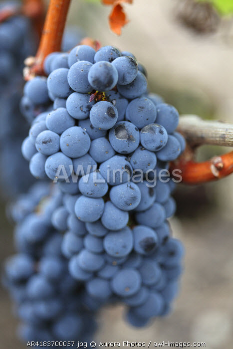 awl-images.com - France / Red Cabernet Sauvignon Grapes in Bordeaux, France
