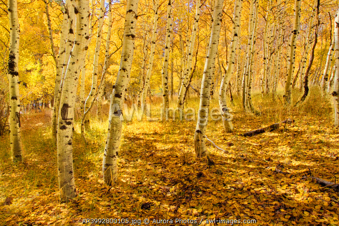 awl-images.com - USA / Yellow aspen trees in the fall in the Sierra mountains of California, USA