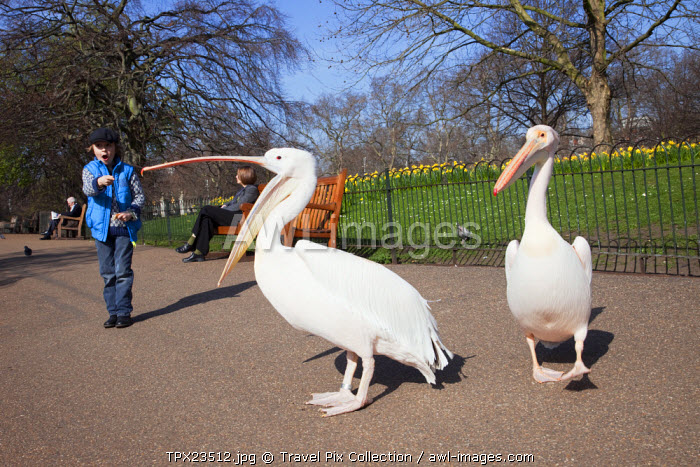 awl-images.com - England / England, London, St.James Park, Pelicans