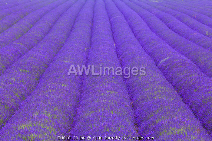 awl-images.com - England / England, Kent, Shoreham. Lavender fields at Shoreham, in North Kent.