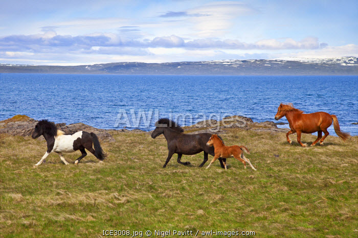 awl-images.com - Iceland / Icelandic horses run free along the coast of Vatnsnes Peninusla.