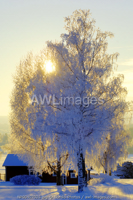awl-images.com - Sweden / Snow covered tree, Dalarna, Sweden