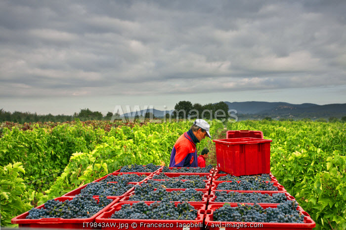 awl-images.com - Italy / Italy, Umbria, Terni district, Giove, Grape harvest.