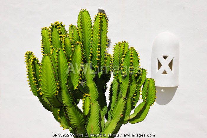 awl-images.com - Spain / Cactus. Lanzarote, Canary Islands