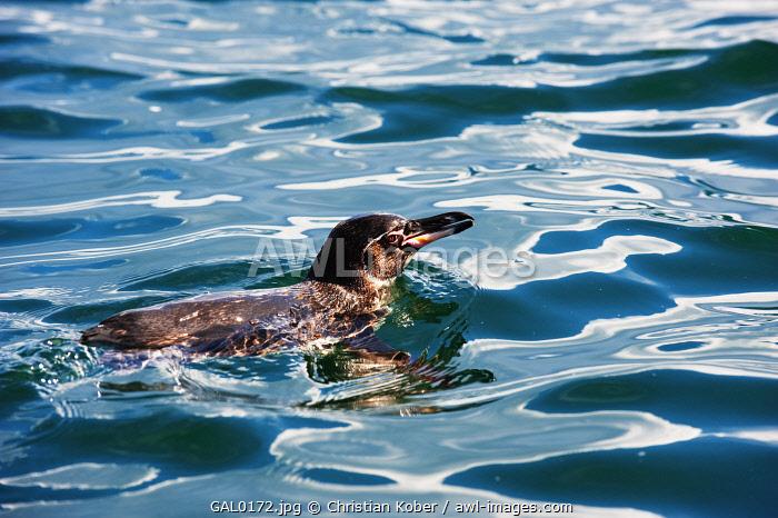 South America, Ecuador, Galapagos Islands, Isla Isabela, Unesco site, Galapagos penguin, Spheniscus mendiculus