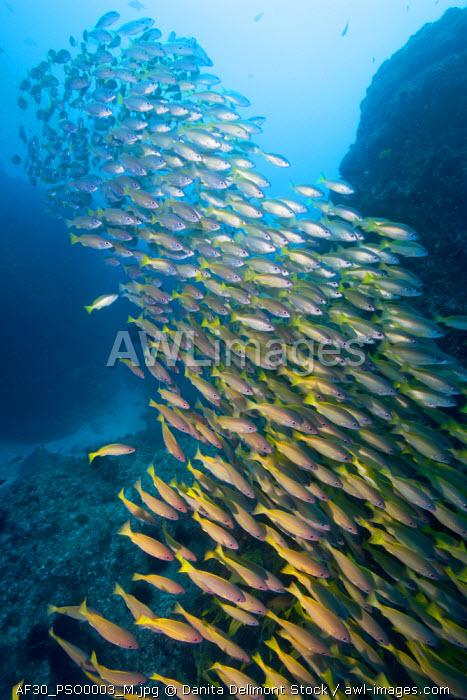 Africa, Mozambique, Guinjata Bay, Jangamo Beach, Underwater view of schools of tropical fish at Manta Reef