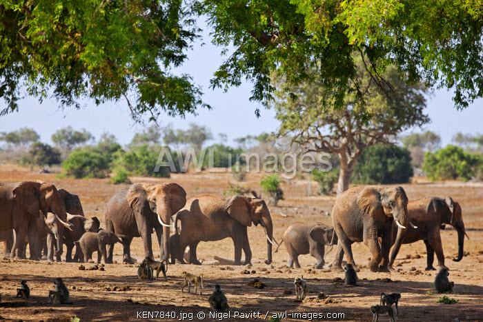 A herd of elephants and baboons in Tsavo East National Park.