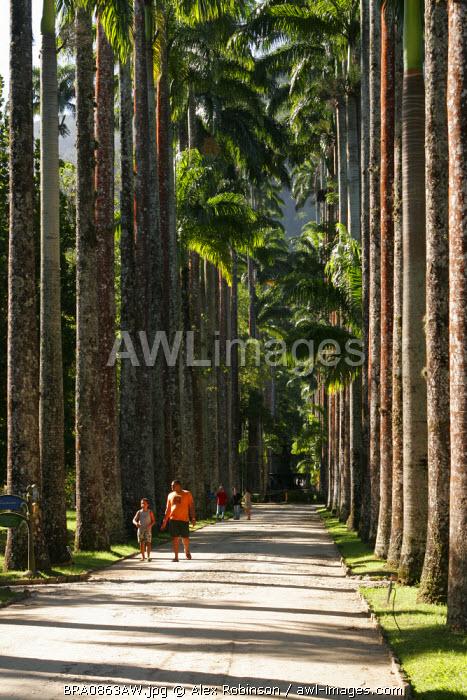 South America, Brazil, Rio de Janeiro State, Rio de Janeiro city, the avenue of royal palms (Roystonea regia) in the Jardim Botanico (Botanical Gardens)
