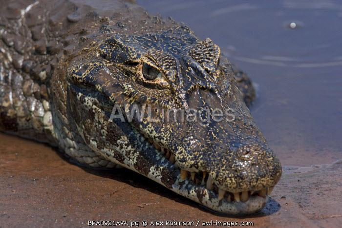 South America, Brazil, Mato Grosso do Sul, Yacare Caiman in the Brazilian Pantanal