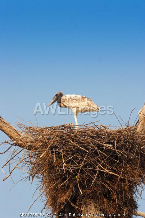 South America, Brazil, Mato Grosso do Sul, a Jabiru storks chick