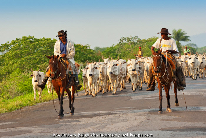 South America, Brazil, Mato Grosso do Sul, Pantaneiro ranchers with white Brahmin cattle in the Pantanal