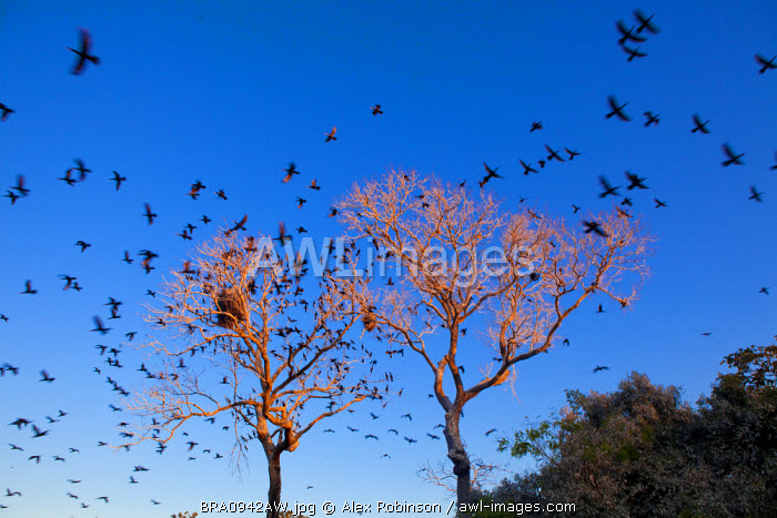 South America, Brazil, Mato Grosso do Sul,  scores of Neotropic Cormorants flying away from a tree in the  Southern Pantanal Conservation Area