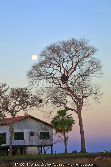 South America, Brazil, Mato Grosso do Sul, the moon shining through the denuded branches of a tree on the banks of the Rio Miranda in the Pantanal