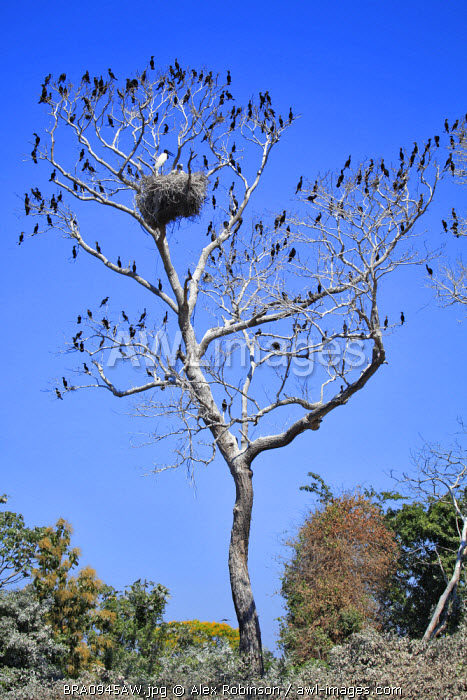 South America, Brazil, Mato Grosso do Sul, a tree in the Pantanal with nesting Jabiru storks with chicks and scores of Neotropic Cormorants