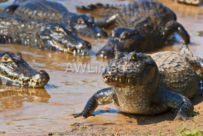 South America, Brazil, Mato Grosso do Sul, Yacare Caimans in the Brazilian Pantanal