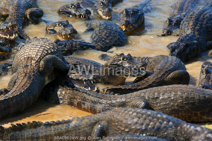 South America, Brazil, Mato Grosso do Sul, Yacare Caiman in the Brazilian Pantanal