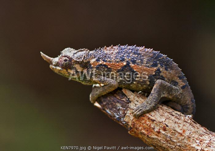 A one-horned Chameleon, Karen, Kenya