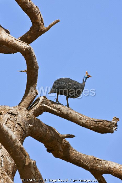 A helmeted Guineafowl on a dead tree, Amboseli National Park, Kenya