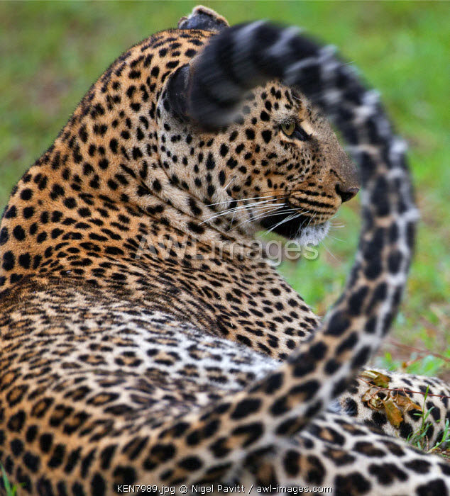 A leopard in the Aberdare National Park, Kenya