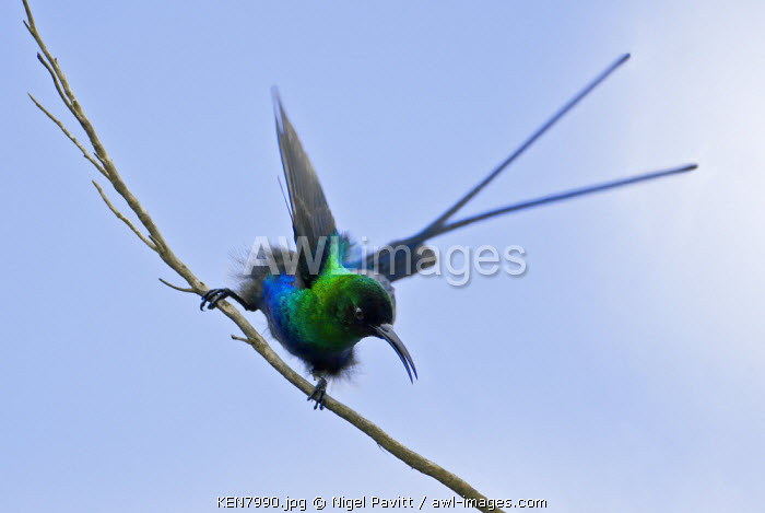 A Malachite Sunbird on the moorlands of Mount Kenya, Kenya