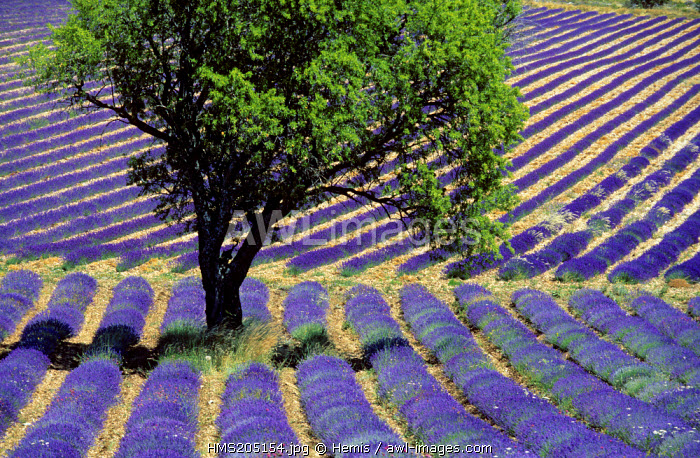 France, Drome, lavander