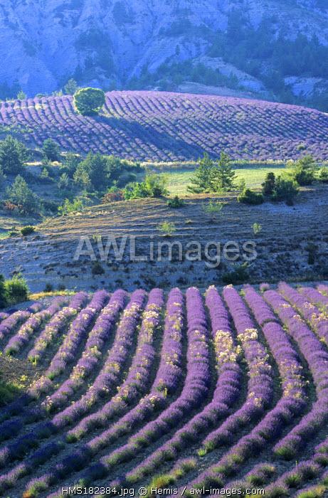 France, Drome, lavender landscape near Les Gorges de Toulourenc