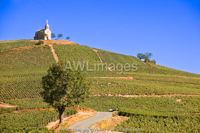 France, Rhone, Le Beaujolais, Fleurie, the vineyard of Fleurie goes uphill to the chapel of Madone