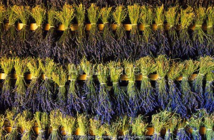France, Drome, Ferrassieres, Chateau de la Gabelle, drying of lavender bouquets