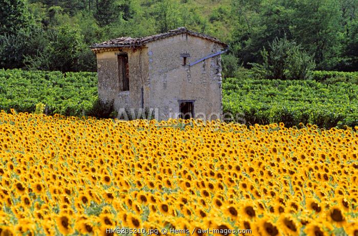 France, Drome, Drome Provencale, vines and sunflowers near Saillans