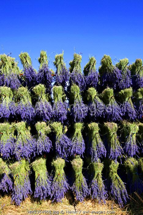 France, Drome, Drome Provencale, Ferrassieres, lavander, bunches of dried flowers