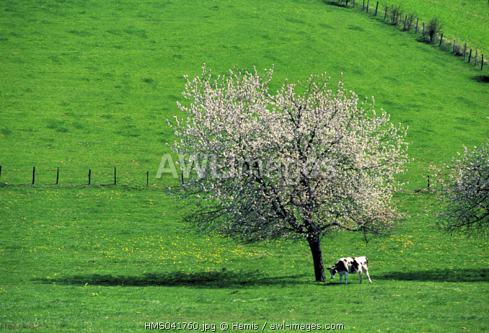 France, Loire, Roannais country, landscae with a cherry tree in blossom