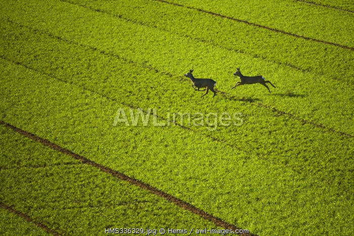 France, Eure, Etrepagny, roe deers (aerial view)