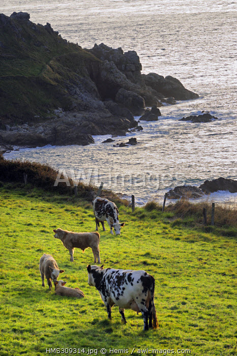 France, Manche, Cap de la Hague, Bay of Ecalgrain, cows