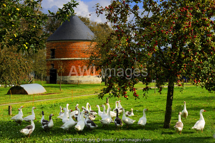 France, Seine Maritime, Bretteville du Grand Caux, Clos masure, a typical farm of Normandy that houses the Ecomuseum of the Apple and Cider in the farm, Norman goose breeding