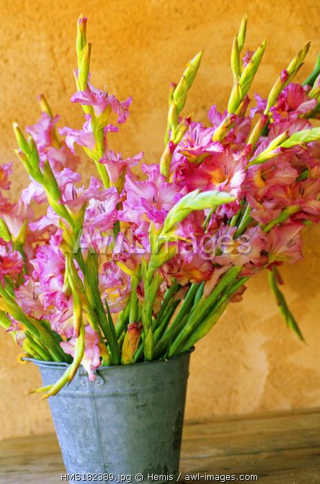 France, Drome, Grignan, La Maison du Moulin bed and breakfast, Gladiolus