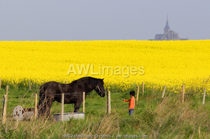 France, Manche, bay of Mont Saint Michel, listed as World Heritage by UNESCO, Huisnes, field of colza in flower, horse and child
