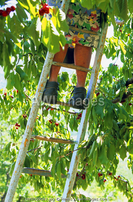 France, Drome, Buis les Baronies, picking cherries