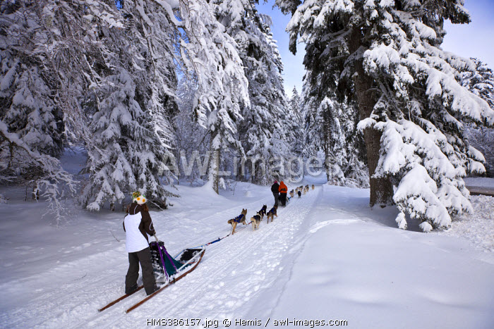 France, Savoie (73), La Féclaz, parc naturel régional du massif des Bauges, domaine nordique du Grand Revard, balade en chien de traîneau neau
